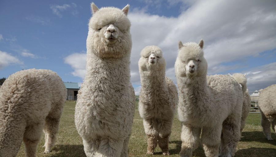 Can You Make Money From Alpaca Farming?